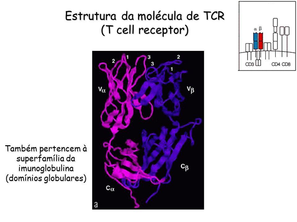 Estrutura da molécula de TCR (T cell receptor) Também pertencem à superfamília da imunoglobulina (domínios globulares)