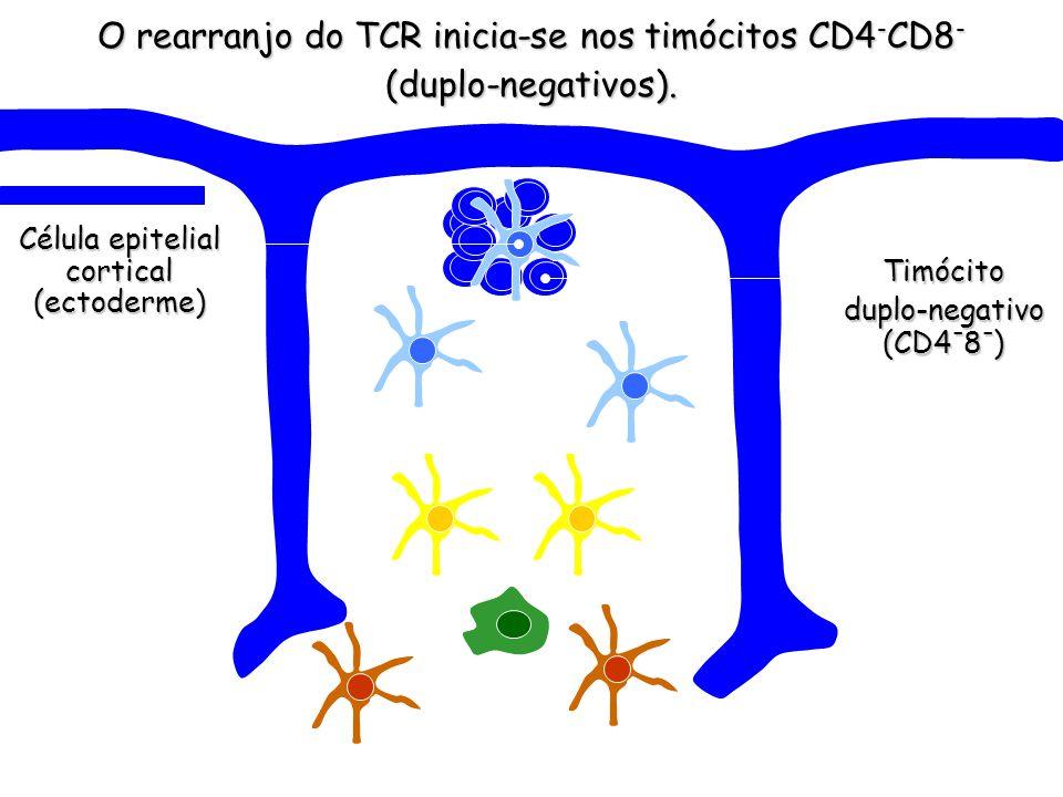 O rearranjo do TCR inicia-se nos timócitos CD4 - CD8 - (duplo-negativos).