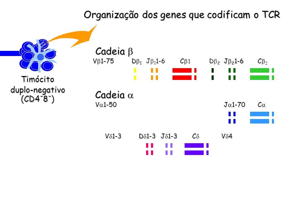 Organização dos genes que codificam o TCR Timócitoduplo-negativo (CD4 - 8 - ) Cadeia Cadeia C C V 1-75 D 1 J 1 1-6 C D 2 J 2 1-6 V 1-50 J 1-70 C V 1-3 D 1-3 J 1-3 C V 4