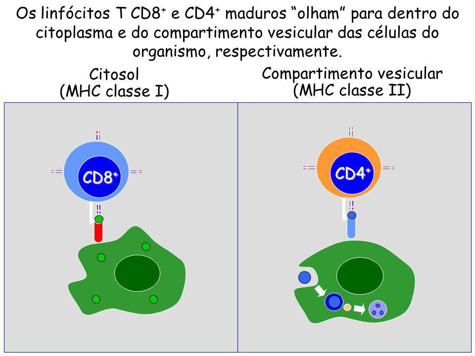 Citosol (MHC classe I) CD8 + CD4 + Compartimento vesicular (MHC classe II) Os linfócitos T CD8 + e CD4 + maduros olham para dentro do citoplasma e do compartimento vesicular das células do organismo, respectivamente.