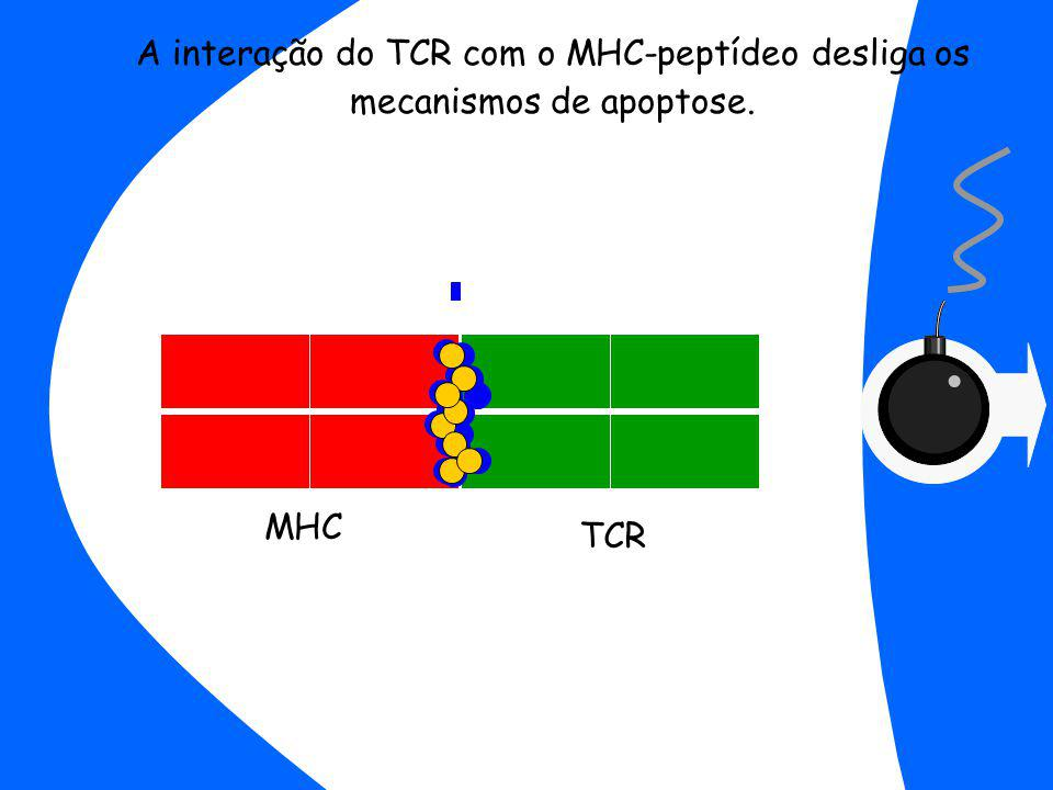 TCR A interação do TCR com o MHC-peptídeo desliga os mecanismos de apoptose. MHC