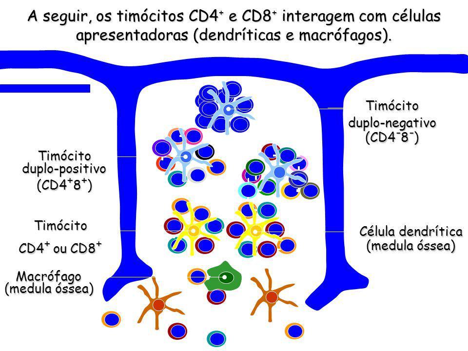 Macrófago (medula óssea) A seguir, os timócitos CD4 + e CD8 + interagem com células apresentadoras (dendríticas e macrófagos).