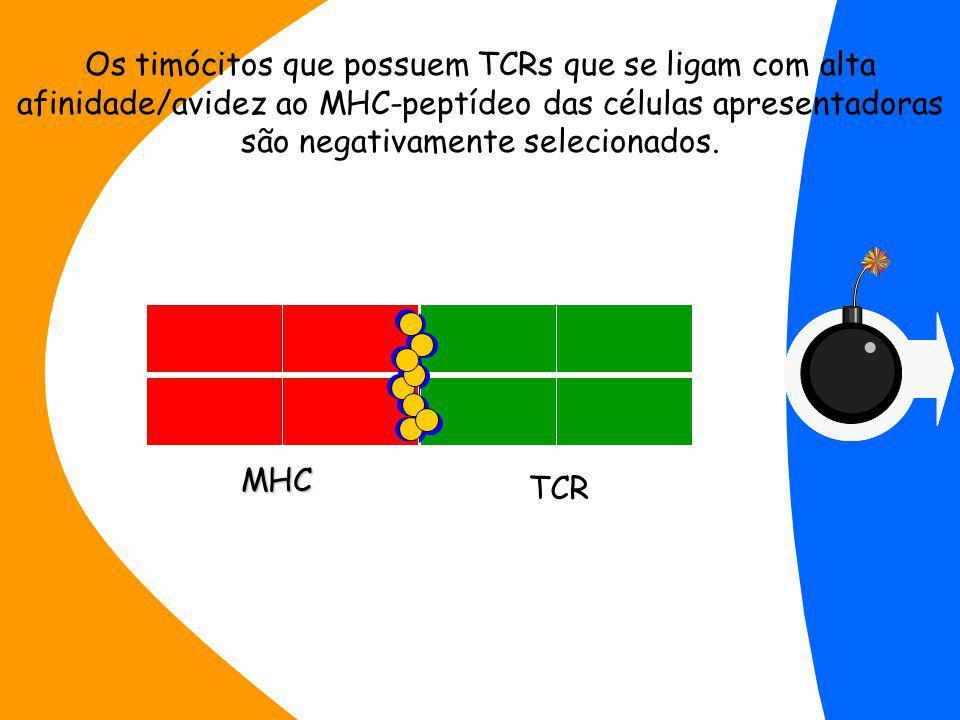 TCR MHC Os timócitos que possuem TCRs que se ligam com alta afinidade/avidez ao MHC-peptídeo das células apresentadoras são negativamente selecionados.