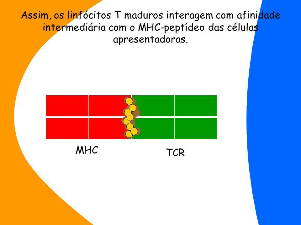 MHC TCR Assim, os linfócitos T maduros interagem com afinidade intermediária com o MHC-peptídeo das células apresentadoras.