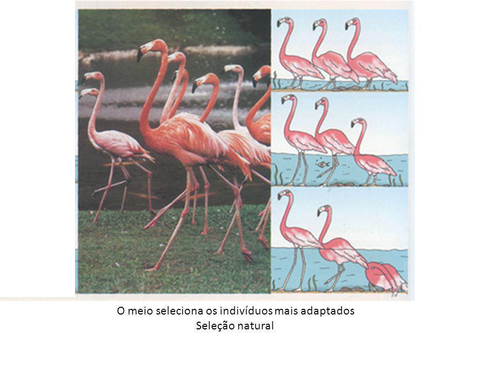 O meio seleciona os indivíduos mais adaptados Seleção natural