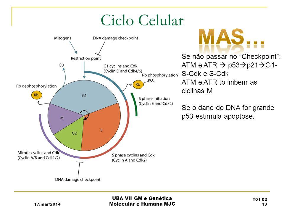 Ciclo Celular 17/mar/2014 UBA VII GM e Genética Molecular e Humana MJC T01-02 13 Se não passar no Checkpoint: ATM e ATR p53 p21 G1- S-Cdk e S-Cdk ATM e ATR tb inibem as ciclinas M Se o dano do DNA for grande p53 estimula apoptose.