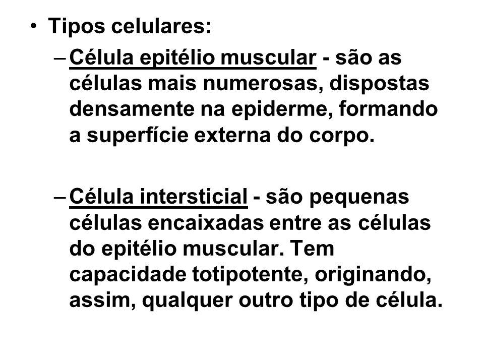 Tipos celulares: –Célula epitélio muscular - são as células mais numerosas, dispostas densamente na epiderme, formando a superfície externa do corpo.
