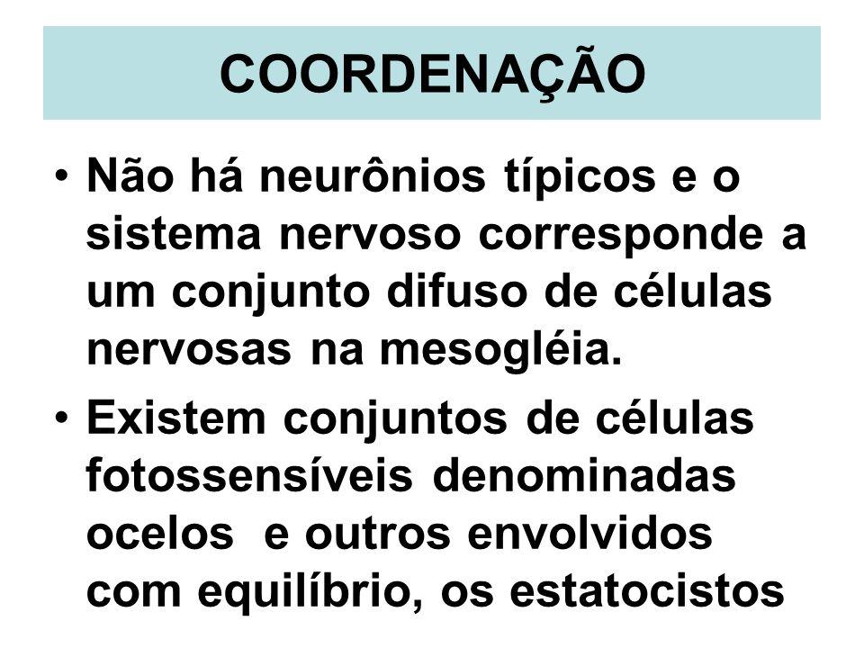 COORDENAÇÃO Não há neurônios típicos e o sistema nervoso corresponde a um conjunto difuso de células nervosas na mesogléia.