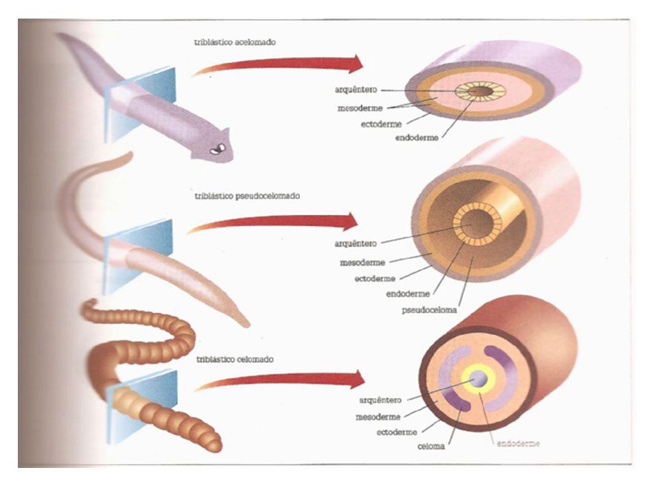 CIRCULAÇÃO Sistema cárdio-vascular ausente; qualquer substância se desloca por difusão simples pelas camadas celulares e pela mesogléia.