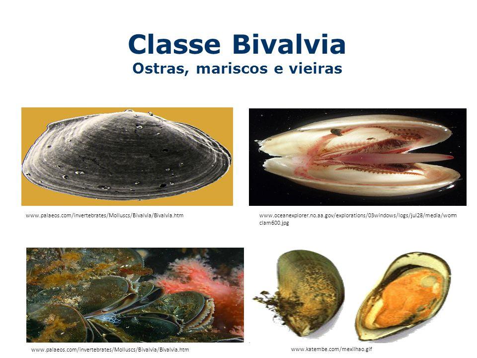 Anatomia Interna de um Bivalve Concha Sifão exalante Sifão inalante Brânquia Pé Boca Músculo que fecha a concha Manto www.mer-littoral.org/14img/bivalves.gif