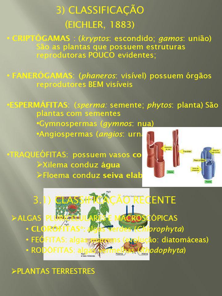 3) CLASSIFICAÇÃO ( EICHLER, 1883) CRIPTÓGAMAS : (kryptos: escondido; gamos: união) São as plantas que possuem estruturas reprodutoras POUCO evidentes; FANERÓGAMAS: (phaneros: visível) possuem órgãos reprodutores BEM visíveis ESPERMÁFITAS: (sperma: semente; phytos: planta) São plantas com sementes Gymnospermas (gymnos: nua) Angiospermas (angios: urna) TRAQUEÓFITAS: possuem vasos condutores Xilema conduz água Floema conduz seiva elaborada; ALGAS PLURICELULARES E MACROSCÓPICAS CLORÓFITAS*: algas verdes (Chlorophyta) FEÓFITAS: algas marrons (evolução: diatomáceas) RODÓFITAS: algas vermelhas (Rhodophyta) PLANTAS TERRESTRES 3.1) CLASSIFICAÇÃO RECENTE