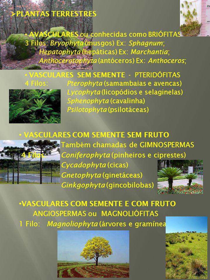VASCULARES COM SEMENTE SEM FRUTO Também chamadas de GIMNOSPERMAS 4 Filos:Coniferophyta (pinheiros e ciprestes) Cycadophyta (cicas) Gnetophyta (ginetáceas) Ginkgophyta (gincobilobas) VASCULARES COM SEMENTE E COM FRUTO ANGIOSPERMAS ou MAGNOLIÓFITAS 1 Filo: Magnoliophyta (árvores e gramíneas) PLANTAS TERRESTRES AVASCULARES ou conhecidas como BRIÓFITAS 3 Filos: Bryophyta (musgos) Ex: Sphagnum; Hepatophyta (hepáticas) Ex: Marchantia; Anthocerotophyta (antóceros) Ex: Anthoceros; VASCULARES SEM SEMENTE - PTERIDÓFITAS 4 Filos: Pterophyta (samambaias e avencas) Lycophyta (licopódios e selaginelas) Sphenophyta (cavalinha) Psilotophyta (psilotáceas)