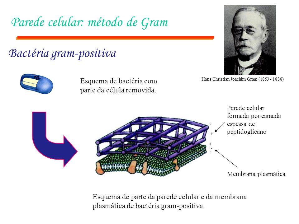Parede celular: método de Gram Bactéria gram-positiva Membrana plasmática Parede celular formada por camada espessa de peptidoglicano Esquema de parte