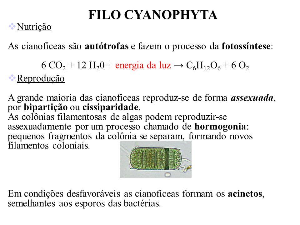FILO CYANOPHYTA Nutrição As cianofíceas são autótrofas e fazem o processo da fotossíntese: 6 CO 2 + 12 H 2 0 + energia da luz C 6 H 12 O 6 + 6 O 2 Rep
