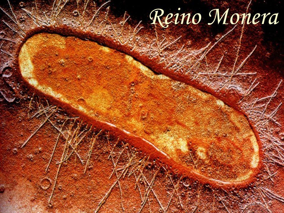 Os Moneras são seres vivos unicelulares e procariontes.