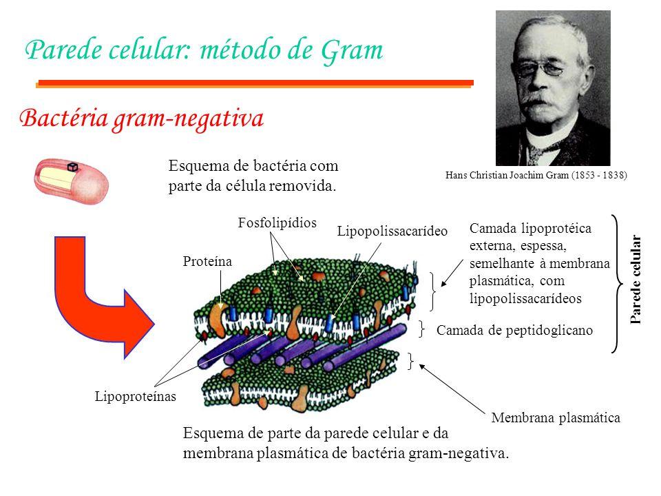Parede celular: método de Gram Esquema de parte da parede celular e da membrana plasmática de bactéria gram-negativa. Membrana plasmática Camada de pe