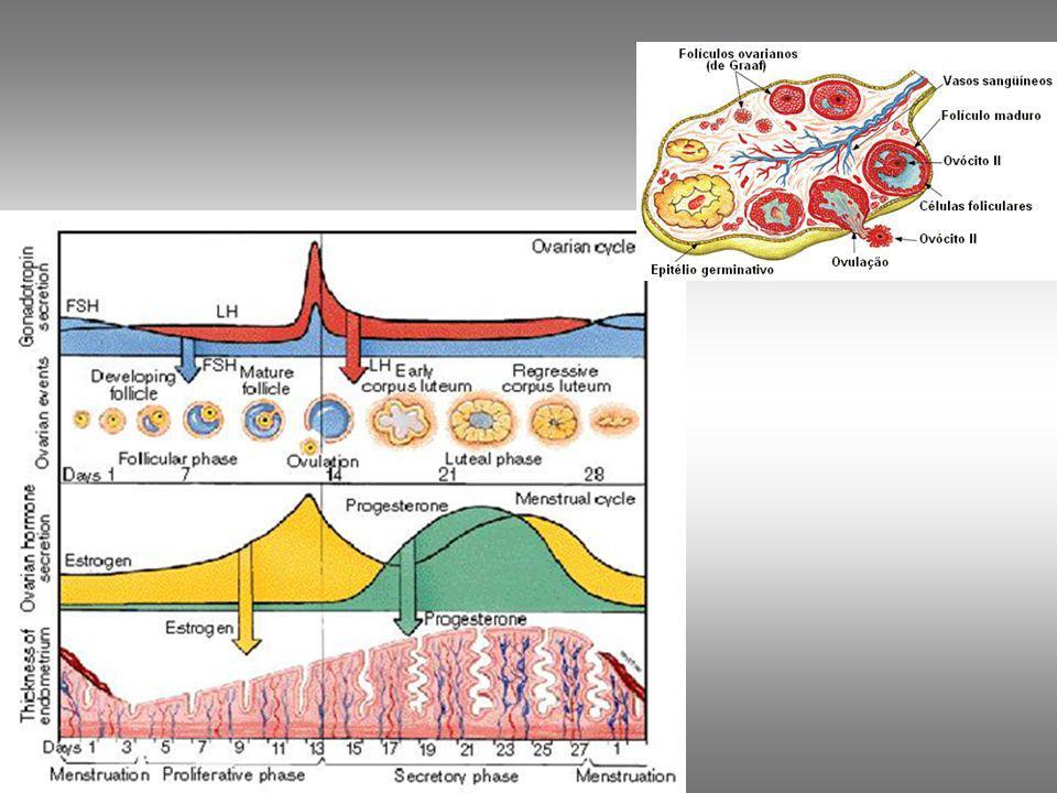 Hormônios ovarianos Estrógeno: Produzidos pelas células foliculares dos ovários.