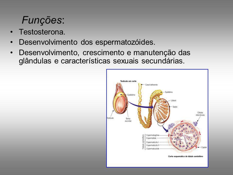 Desenvolvimento –Cavidade abdominal –No período fetal descem para o saco escrotal – Temperatura – Criptorquidia – Produzem espermatozóides e secretam hormônios sexuais masculinos Testículos