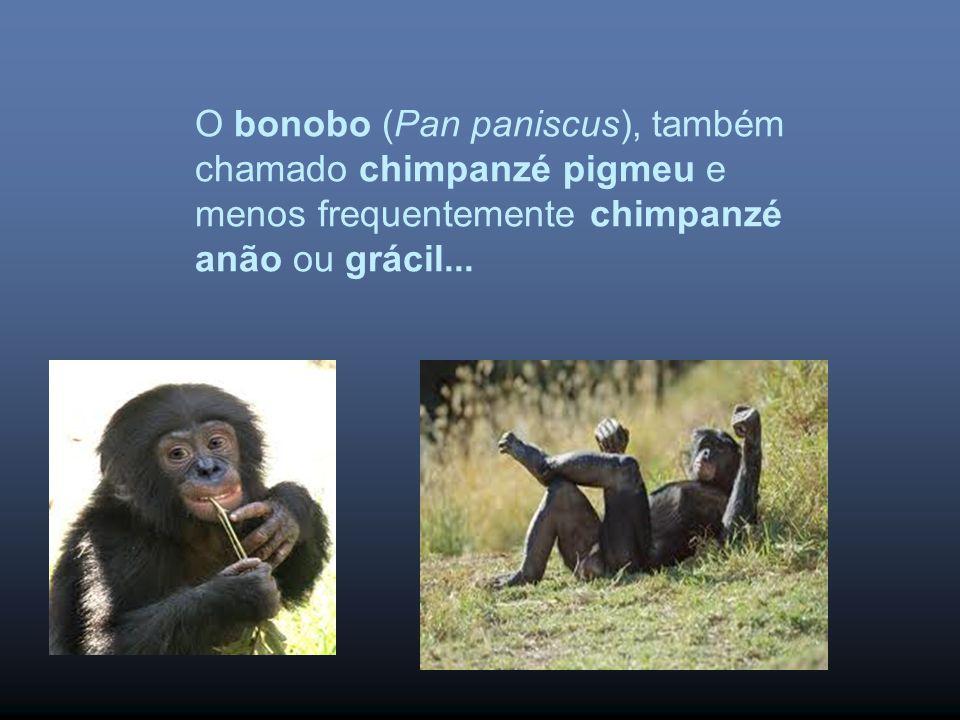 O bonobo (Pan paniscus), também chamado chimpanzé pigmeu e menos frequentemente chimpanzé anão ou grácil...