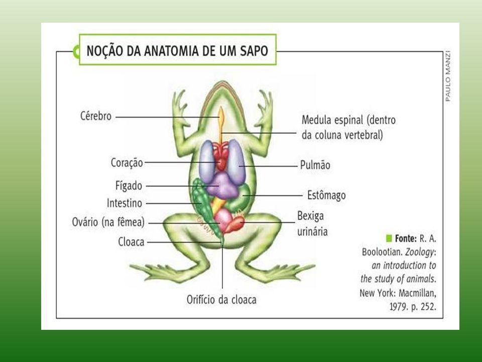 Bonito Salamandra Anatomía Interna Viñeta - Imágenes de Anatomía ...