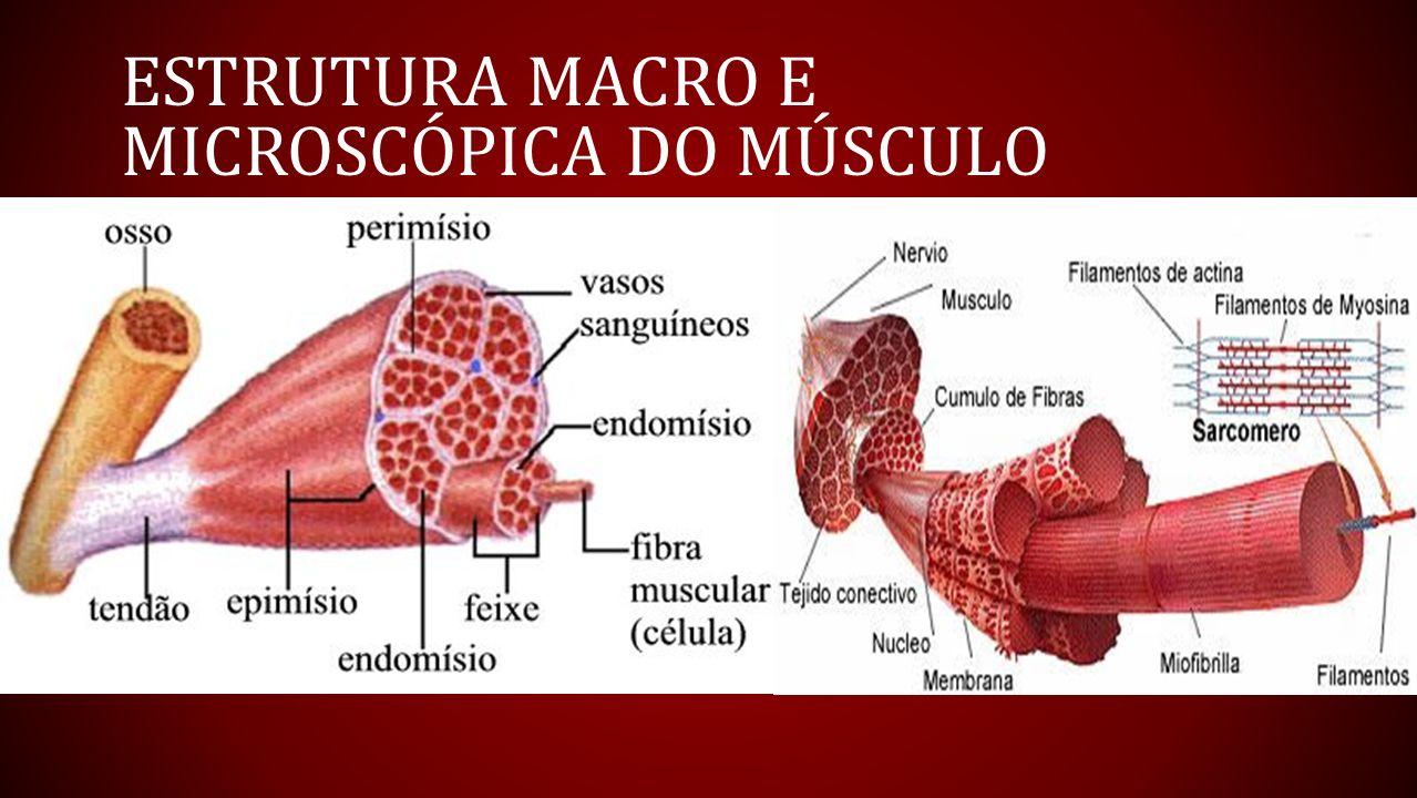 Asombroso Anatomía Microscópica De Las Respuestas Del Músculo ...