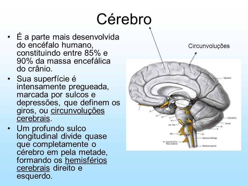 Vistoso Diagrama De Cerebro Marcado Regalo - Anatomía de Las ...