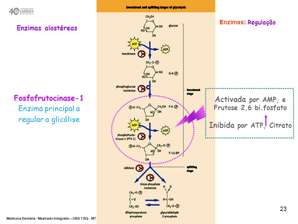 DEPARTAMENTO DE CIÊNCIAS DA SAÚDE Medicina Dentária - Mestrado Integrado – UBA 1 BQ - MTBarros 23 Activada por AMP, e Frutose 2,6 bi.fosfato Inibida p