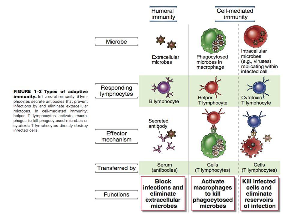 DEPARTAMENTO DE CIÊNCIAS DA SAÚDE - UCP Imunobiologia - MTBarros 5