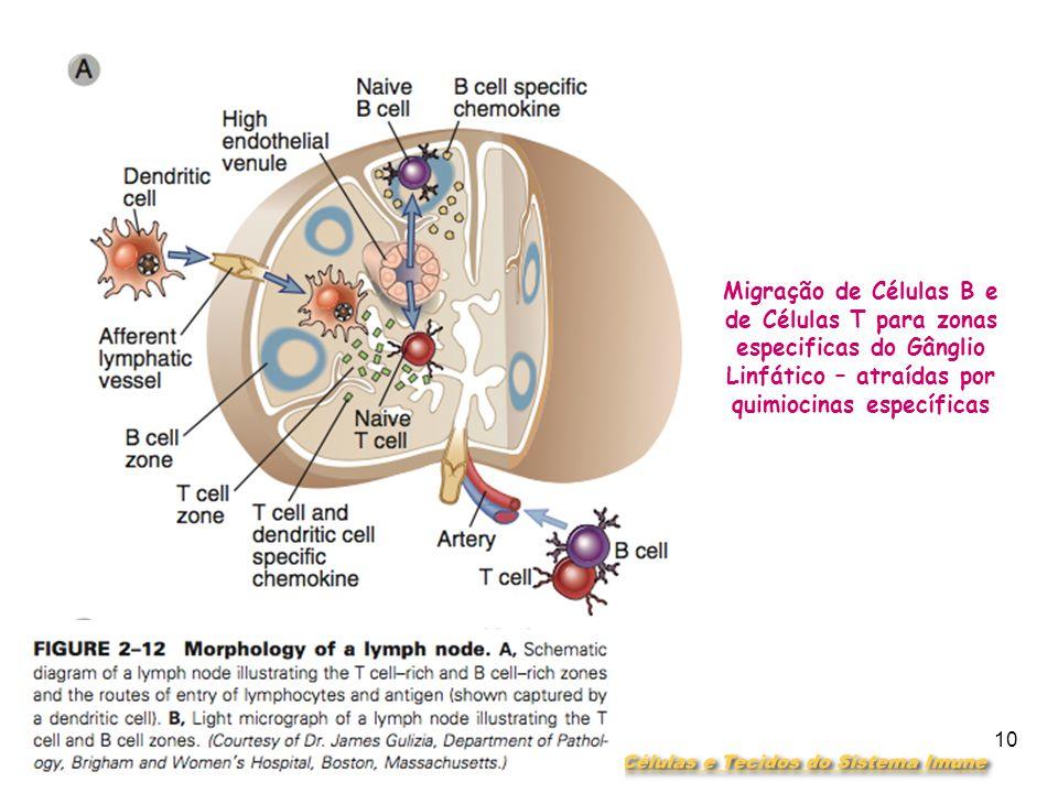 DEPARTAMENTO DE CIÊNCIAS DA SAÚDE - UCP Imunobiologia- MTBarros 10 Migração de Células B e de Células T para zonas especificas do Gânglio Linfático – atraídas por quimiocinas específicas