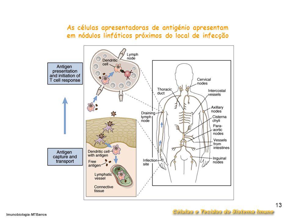 DEPARTAMENTO DE CIÊNCIAS DA SAÚDE - UCP Imunobiologia- MTBarros 13 As células apresentadoras de antigénio apresentam em nódulos linfáticos próximos do local de infecção
