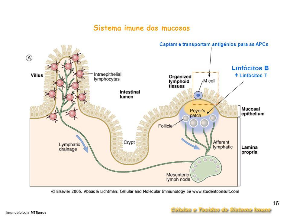 DEPARTAMENTO DE CIÊNCIAS DA SAÚDE - UCP Imunobiologia- MTBarros 16 Sistema imune das mucosas Linfócitos B + Linfócitos T Captam e transportam antigénios para as APCs