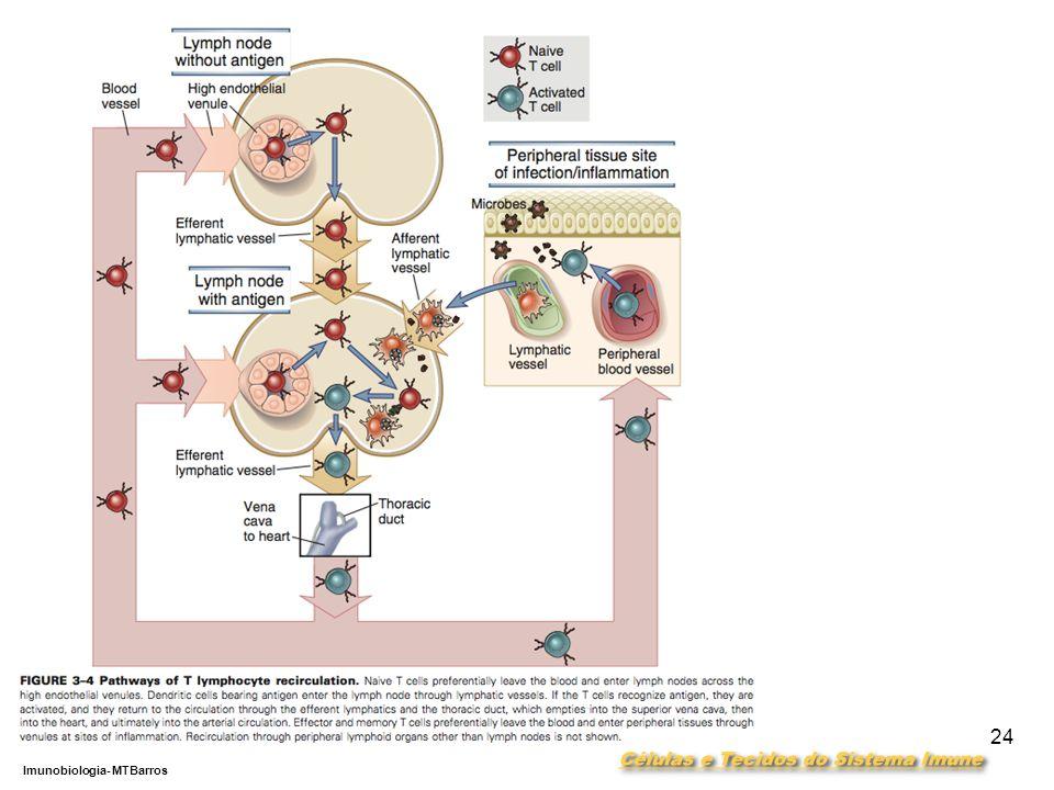 DEPARTAMENTO DE CIÊNCIAS DA SAÚDE - UCP Imunobiologia- MTBarros 24