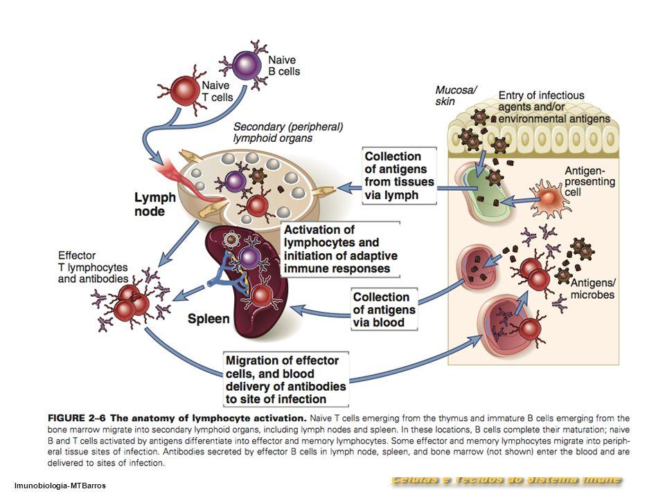 DEPARTAMENTO DE CIÊNCIAS DA SAÚDE - UCP Imunobiologia- MTBarros 6