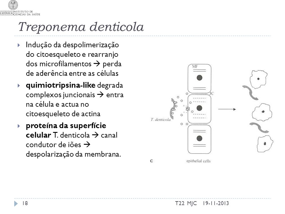 Treponema denticola Indução da despolimerização do citoesqueleto e rearranjo dos microfilamentos perda de aderência entre as células quimiotripsina-like degrada complexos juncionais entra na célula e actua no citoesqueleto de actina proteína da superfície celular T.