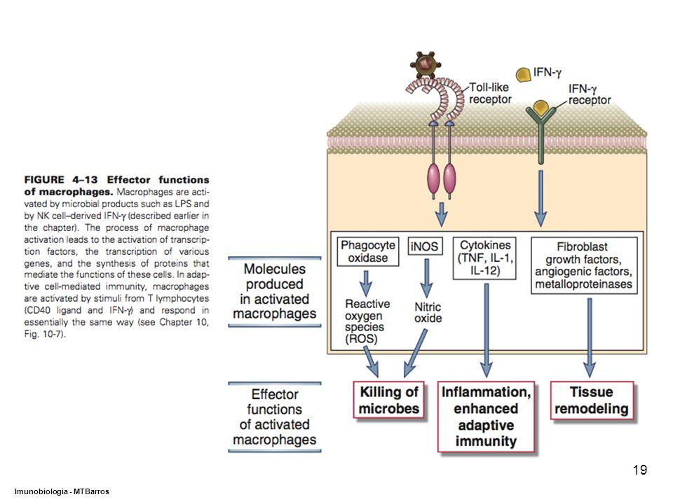 DEPARTAMENTO DE CIÊNCIAS DA SAÚDE - UCP Imunobiologia - MTBarros 19