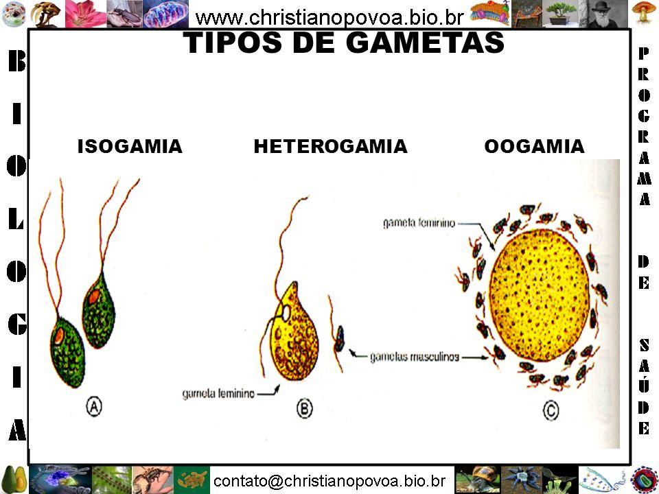 ISOGAMICOS - Seres que produzem gametas femininos e masculinos idênticos.
