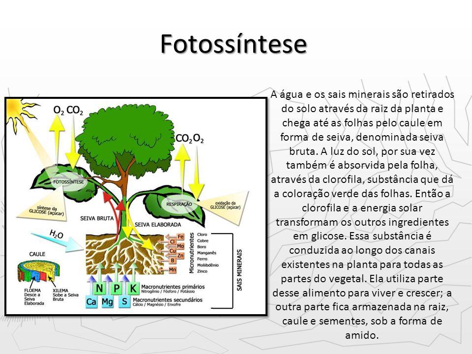 Fotossíntese A água e os sais minerais são retirados do solo através da raiz da planta e chega até as folhas pelo caule em forma de seiva, denominada seiva bruta.