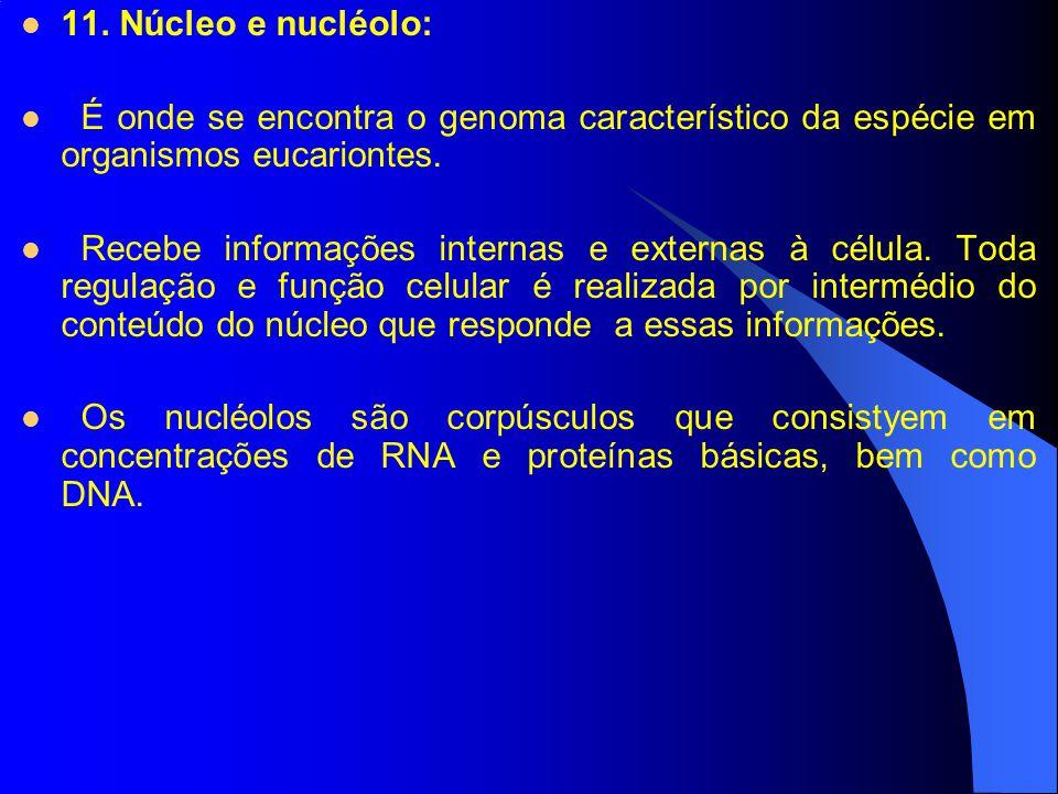 11. Núcleo e nucléolo: É onde se encontra o genoma característico da espécie em organismos eucariontes. Recebe informações internas e externas à célul
