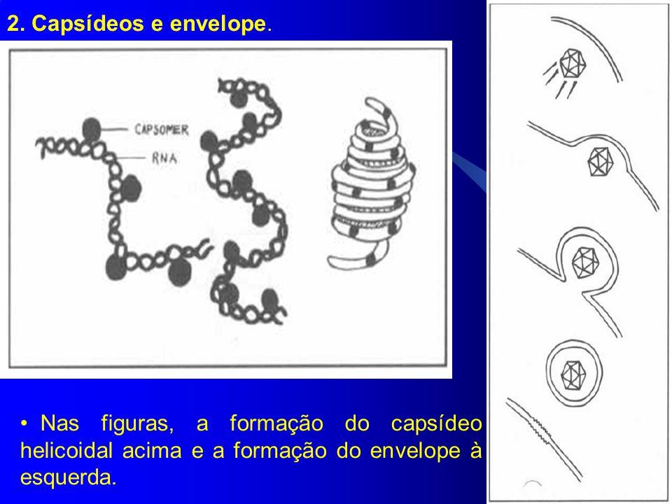 2. Capsídeos e envelope. Nas figuras, a formação do capsídeo helicoidal acima e a formação do envelope à esquerda.