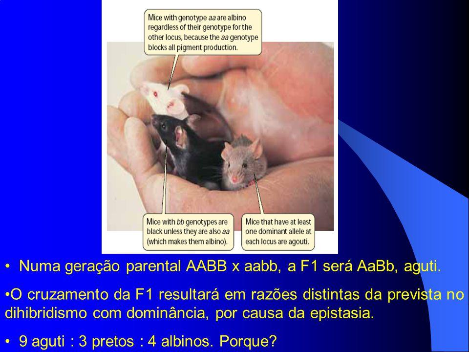Numa geração parental AABB x aabb, a F1 será AaBb, aguti. O cruzamento da F1 resultará em razões distintas da prevista no dihibridismo com dominância,