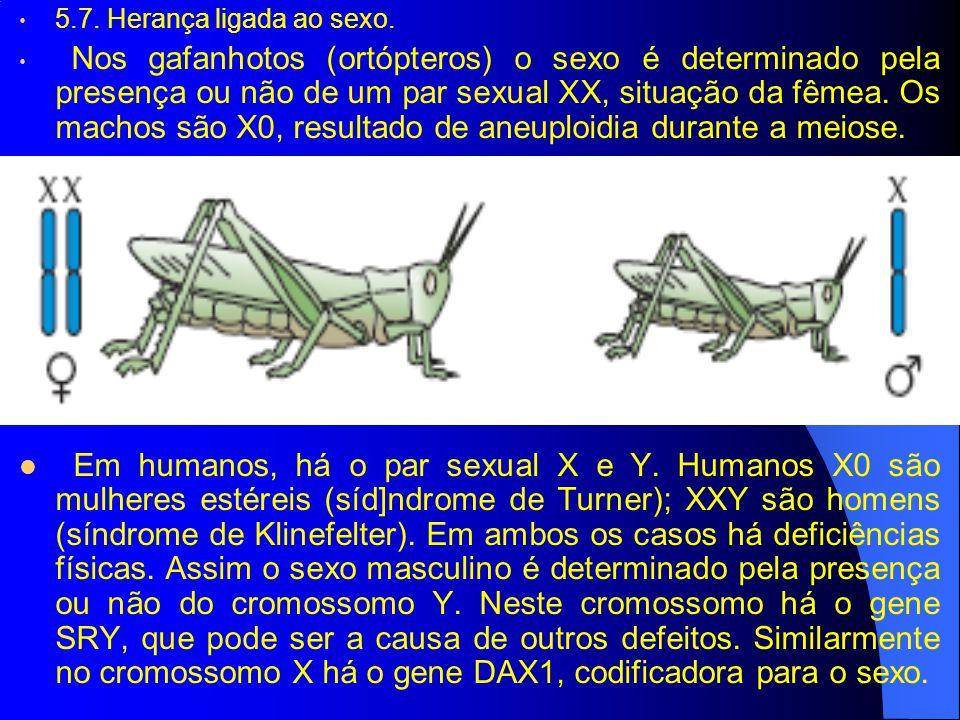 5.7. Herança ligada ao sexo. Nos gafanhotos (ortópteros) o sexo é determinado pela presença ou não de um par sexual XX, situação da fêmea. Os machos s