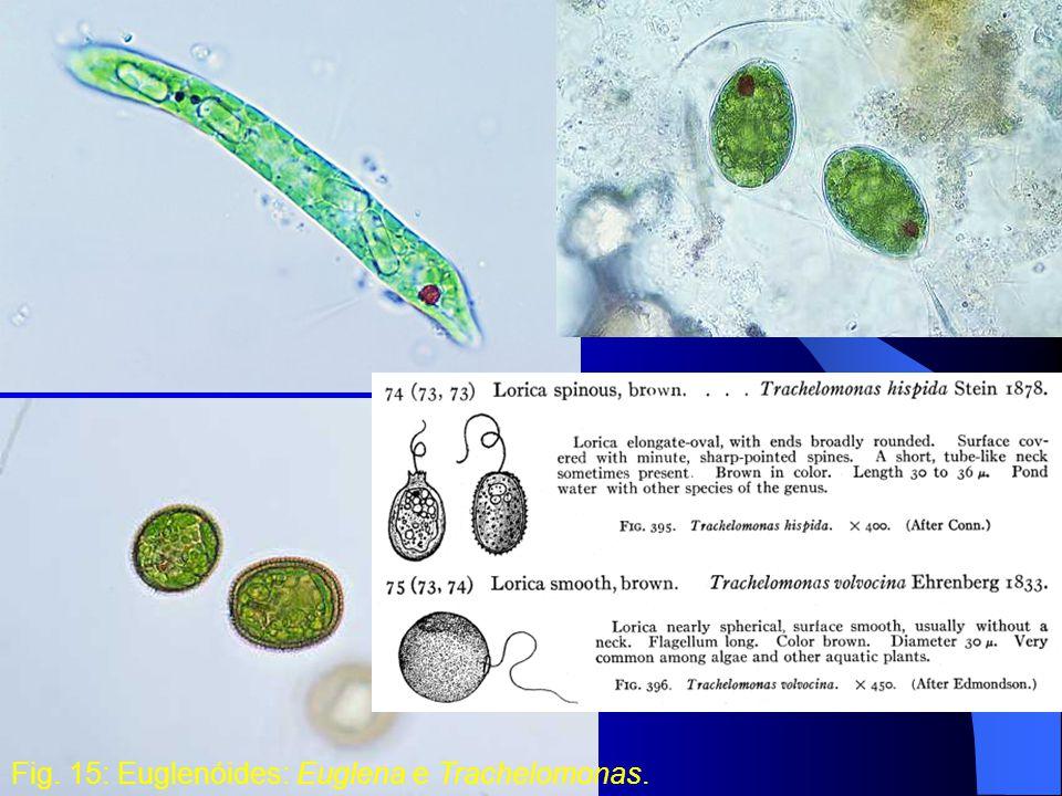 Fig. 15: Euglenóides: Euglena e Trachelomonas.