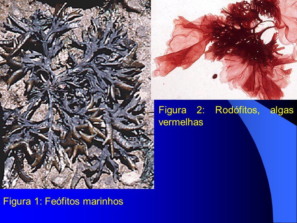 Figura 1: Feófitos marinhos Figura 2: Rodófitos, algas vermelhas