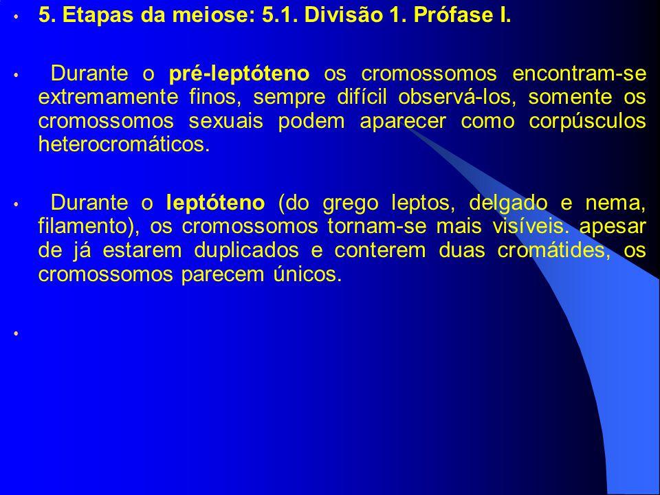 5. Etapas da meiose: 5.1. Divisão 1. Prófase I. Durante o pré-leptóteno os cromossomos encontram-se extremamente finos, sempre difícil observá-los, so