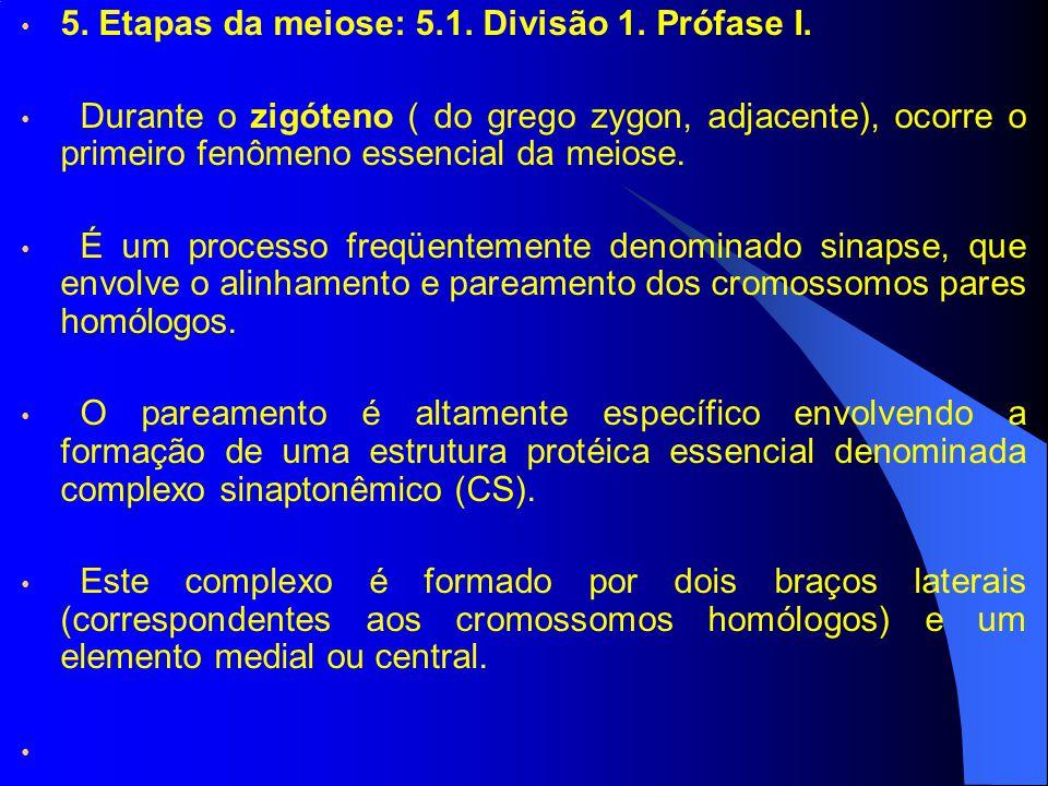 5. Etapas da meiose: 5.1. Divisão 1. Prófase I. Durante o zigóteno ( do grego zygon, adjacente), ocorre o primeiro fenômeno essencial da meiose. É um