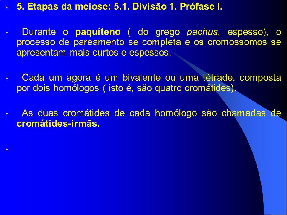 5. Etapas da meiose: 5.1. Divisão 1. Prófase I. Durante o paquíteno ( do grego pachus, espesso), o processo de pareamento se completa e os cromossomos