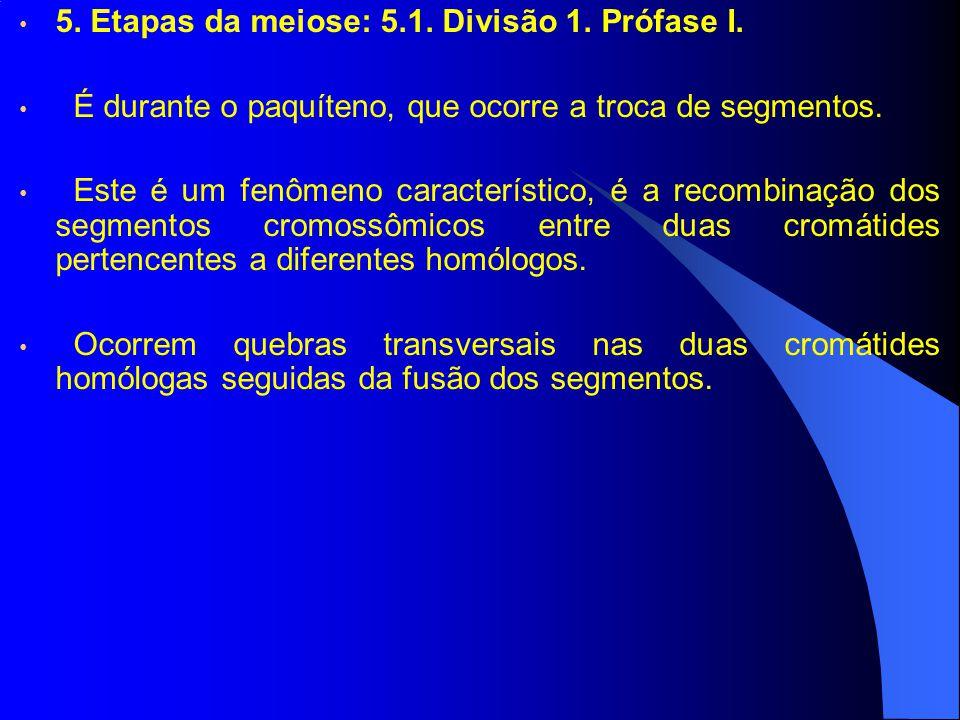 5. Etapas da meiose: 5.1. Divisão 1. Prófase I. É durante o paquíteno, que ocorre a troca de segmentos. Este é um fenômeno característico, é a recombi