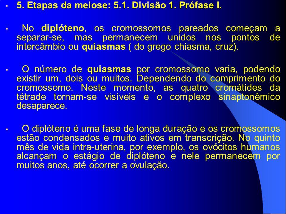 5. Etapas da meiose: 5.1. Divisão 1. Prófase I. No diplóteno, os cromossomos pareados começam a separar-se, mas permanecem unidos nos pontos de interc