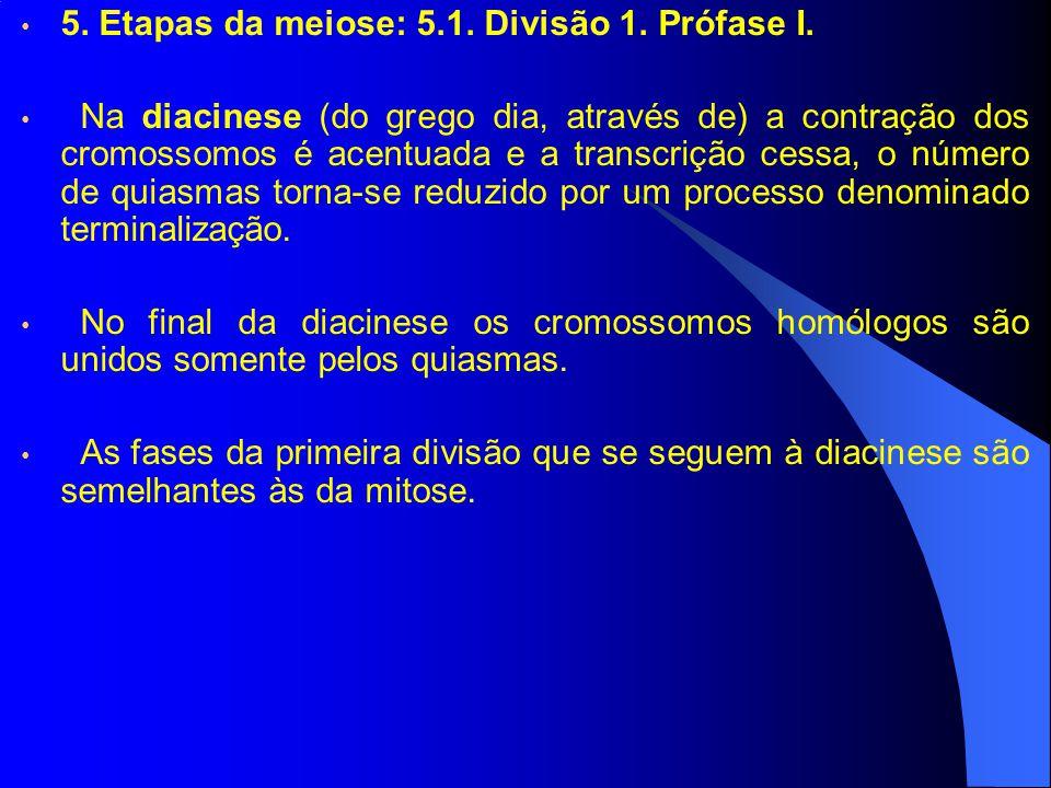 5. Etapas da meiose: 5.1. Divisão 1. Prófase I. Na diacinese (do grego dia, através de) a contração dos cromossomos é acentuada e a transcrição cessa,
