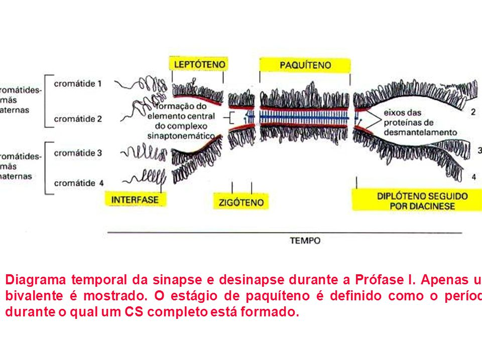 Diagrama temporal da sinapse e desinapse durante a Prófase I. Apenas um bivalente é mostrado. O estágio de paquíteno é definido como o período durante